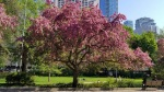 Blossoms on the trees in front of Osgoode Hall with tall buildings in background