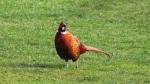 A pheasant on grass
